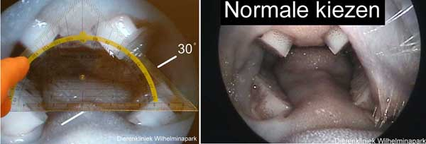 De kiezen staan in een hoek van 30 graden en steken 2-3 mm boven het slijmvlies uit
