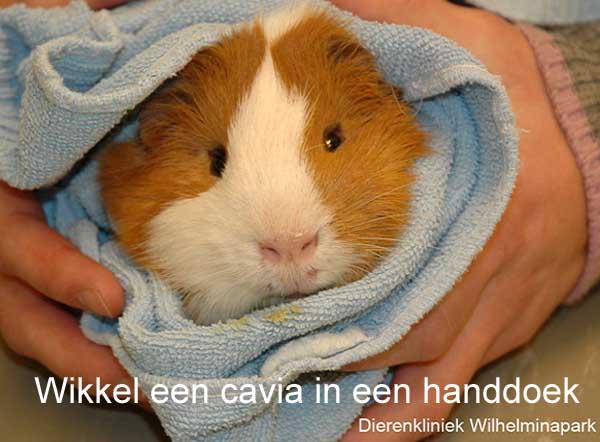 Als een cavia medicijnen of dwangvoer toegediend moet worden wikkel het dan in een handdoek