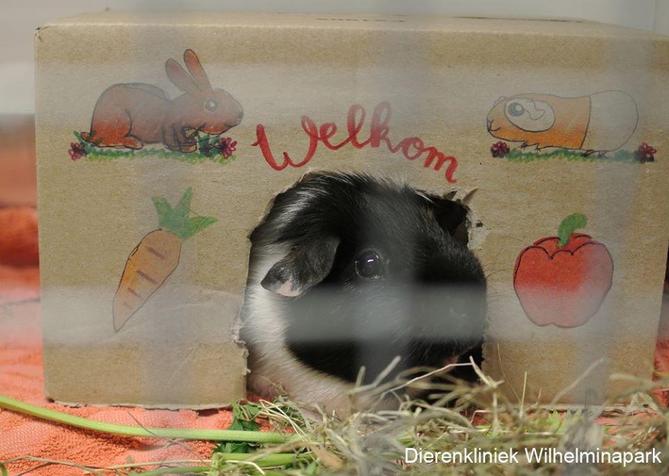 een cavia bij dierenkliniek wilhelminapark in utrecht