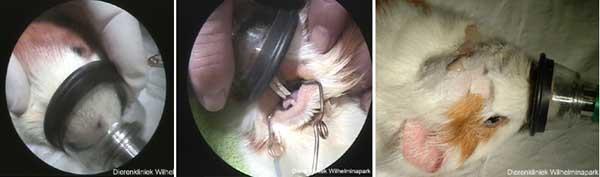 Met een mondmasker kan de cavia gasanesthesie toegediend krijgen