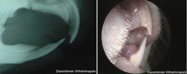 Op de xfoto en het normale beeld is goed te zien hoe de normale tanden bij een cavia eruit zien.