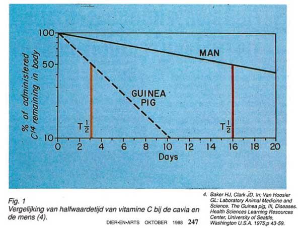 Een cavia breekt vitamine C veel sneller af dan een mens