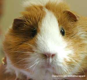 Cavia's zien we geregeld in onze dierenkliniek met gebitsproblemen.