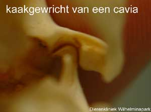 Het kaakgewricht van een cavia is een soort glijbaan waar een schaats doorheen loopt.