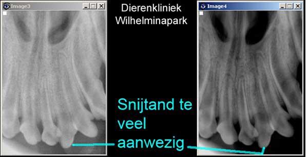 Op de digitale rontgenfoto's is te zien welke snijtand persisterend is. Foto www.dierengebit.nl
