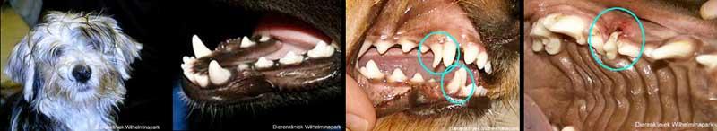 Diverse afwijkende gebitten bij een hond