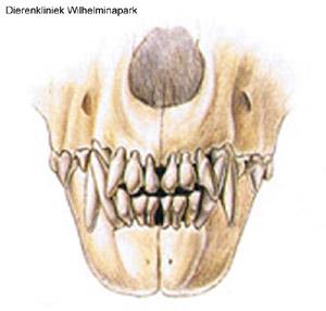 Hond normaal gebit voor aanzicht. Plaatje Hill's Pet Nutrition