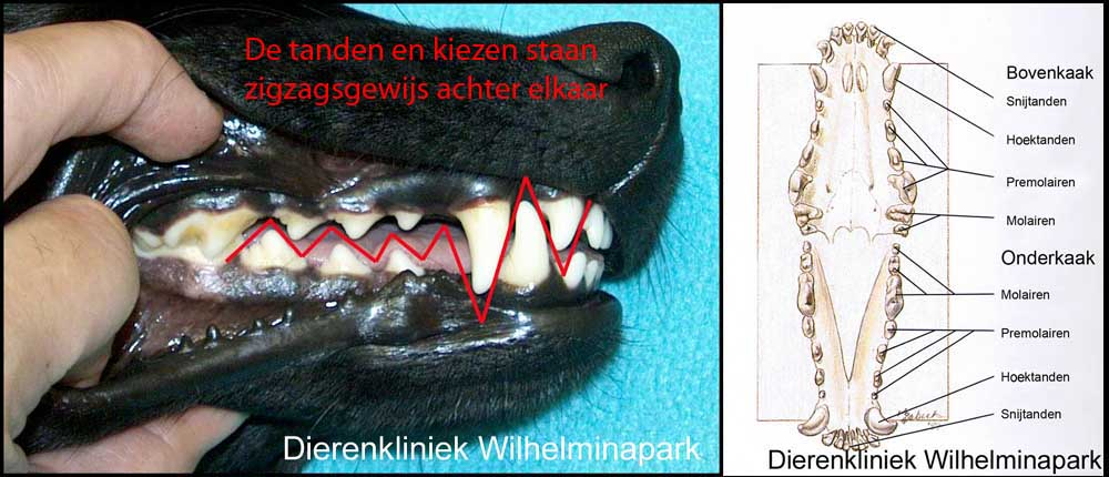 Een hond heeft een scharend gebit, de kiezen vallen tussen elkaar