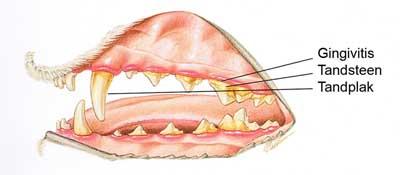 Tandplak en tandsteen bij de hond. Plaatje Hill's Pet Nutrition aangepast door www.dierengebit.nl