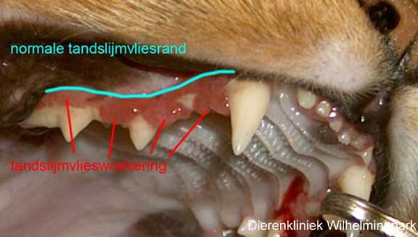 Duidelijk is de slijmvlieswoekering te zien bij deze kat met gingivitis of tandslijmvliesontsteking. www,dierengebit
