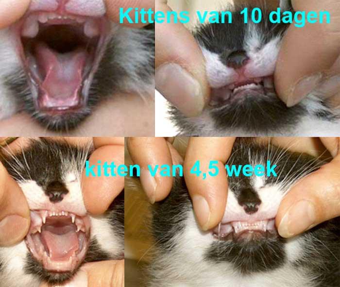 Kitten van 10 dagen heeft nog geen zichtbare tanden. De tanden moeten nog door het slijmvlies heenkomen. Die van 4,5 week heeft al kleine groeiende tanden en kiezen. Foto Dierenkliniek Wilhelminapark in Utrecht