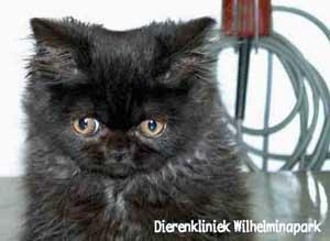 Jong katje met een afwijkende stand van de linker boven haaktand.