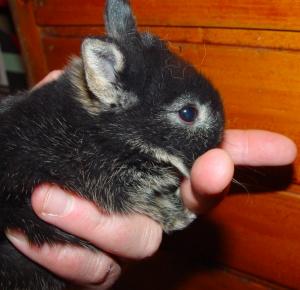 Op een leeftijd van 8 weken kunnen er al snijtandproblemen ontstaan bij een konijntje.