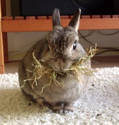 Een konijn moet veel hooi eten, dit is belangrijk voor slijtage van de kiezen en de calciumhuishouding