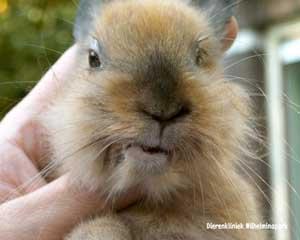 Een jong konijn met een scheve stand van de kaken.
