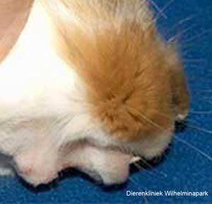 Abces aan de onderkaak bij een konijn. Foto www.dierengebit.nl