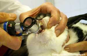 Met een speciaal opzetstuk op de otoscoop controleren we de kiezen bij het konijn