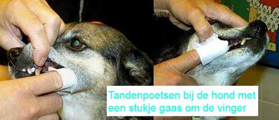 Tanden poetsen van de hond met een gaasje om je vinger.