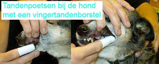 Tandenpoetsen bij de hond met een vingertandenborstel.