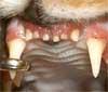 Een kat met gingivitis of tandvleesontsteking